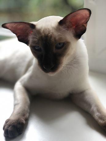 Ориентал кот