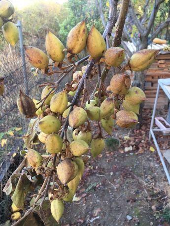 Семена - пауловния шанг танг и томентоса