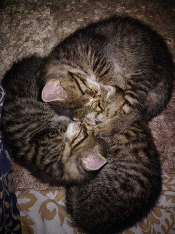 Котята Матроскина, приучены к лотку, можно с доставкой, в хорошие руки