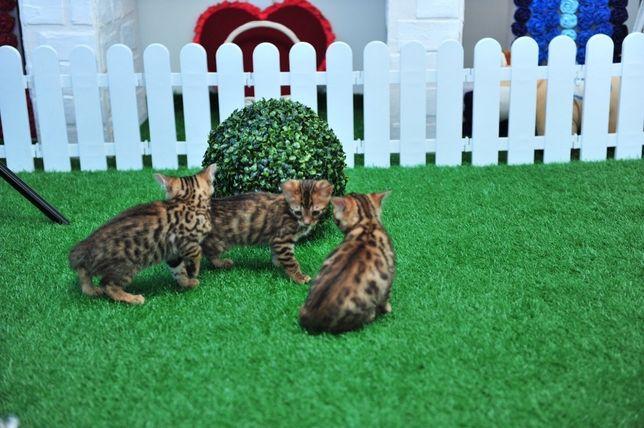 Леопардовые котята