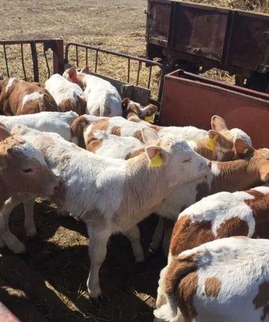 Продам телята бычки коровы опт