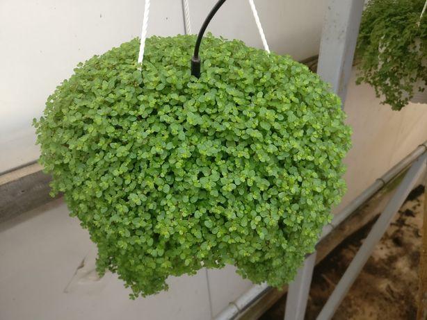 Floare de ornament curgătoare (Parul baiatului)