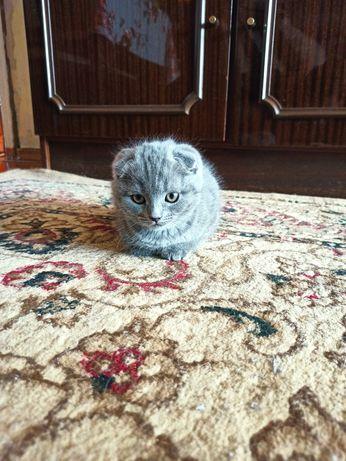 Продам вислоухих котят.