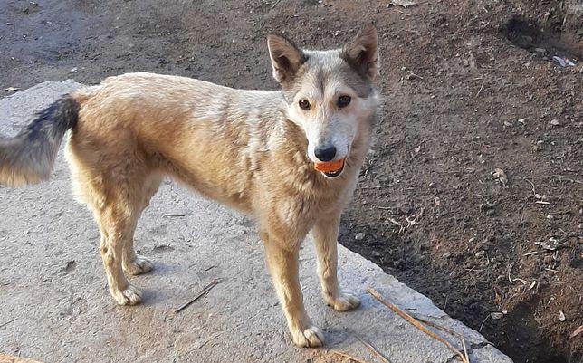 Пропала Собака западно сибирская лайка