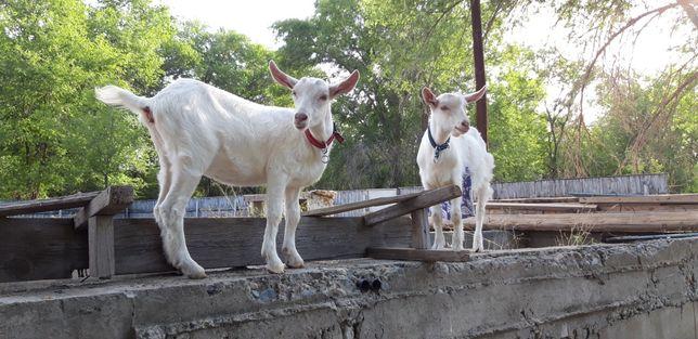 Зааненская коза с козлятами
