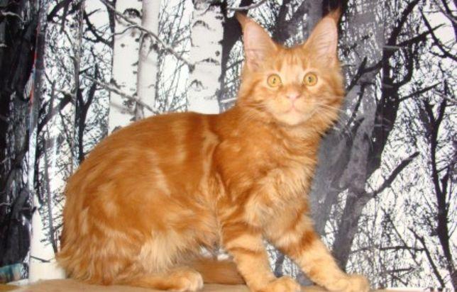 Котик Мейн-кун Будущий великан