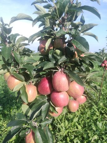 Vand pomi fructiferi si arbusti fructifer