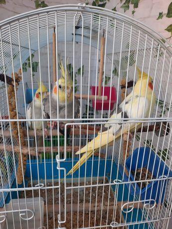 Vând papagali nimfa