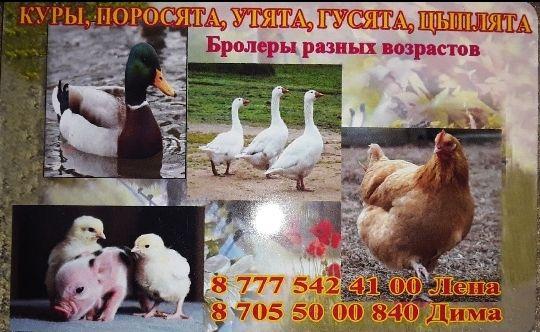 Куры молодки бролеры утки гусята цыплята поросята