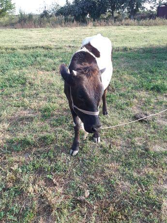 Сиыр (корова),  1 жастан аскан тана сатылады.
