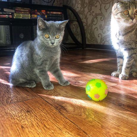 Пристраивается котенок скотииш страйт