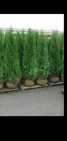 Plante ornamentale mesteacăn