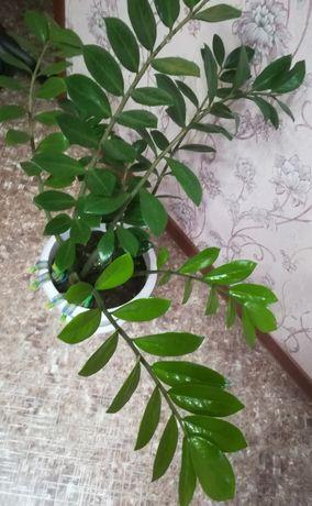 Замиакулькас и Хлорофитум