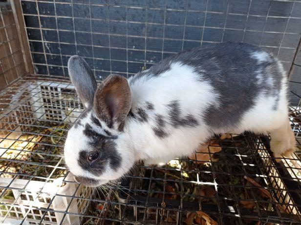 Продам кроля декоротивнова