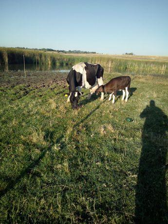 Vand vaci si vitei !