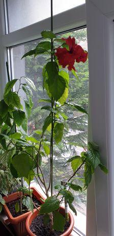 Plante apartament, Trandafir japonez rosu, ficus