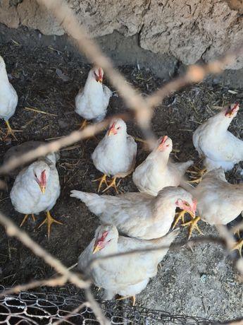 Цыплята несушки..