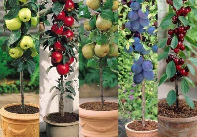Pomi fructiferi columnari pt spatii limitate