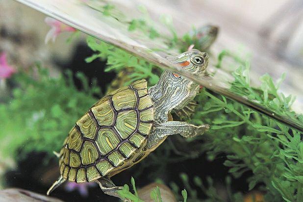 "Черепаха ""водяная""- КРАСНОУХАЯ"