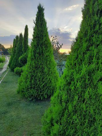 Tuia, plante ornamentale, preț de producător