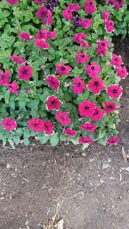 Цветы питунья