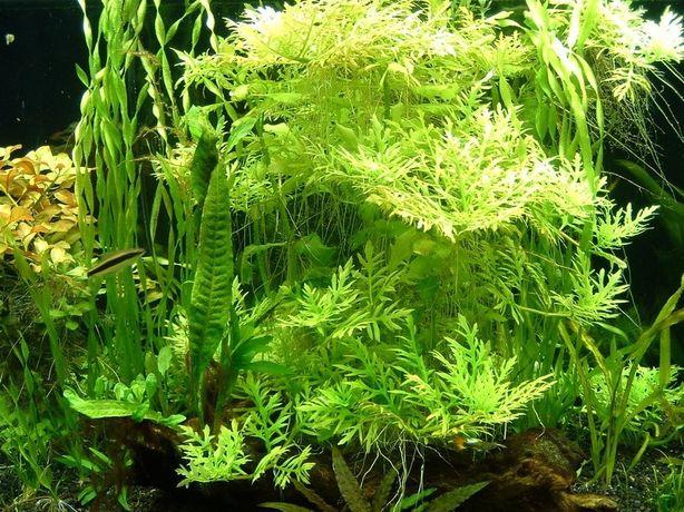 Растение-Гигрофила синема