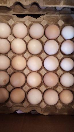 Яйцо инкубационый бройлер оптом и в розницу Арбор айкерс
