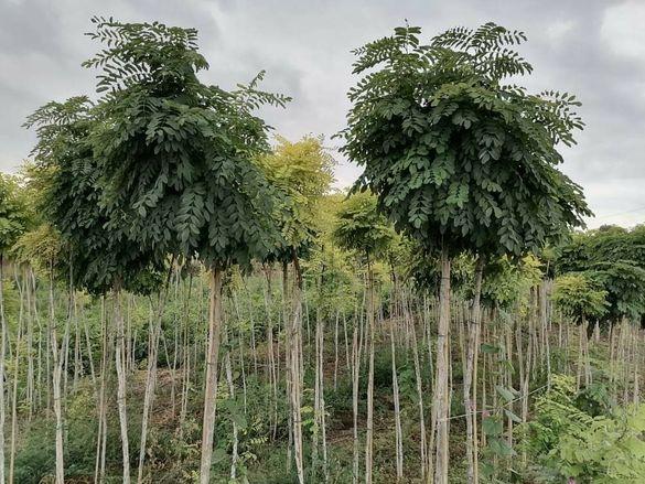 Кълбовидна акация.Robinia Pseudoacacia Umbraculifera