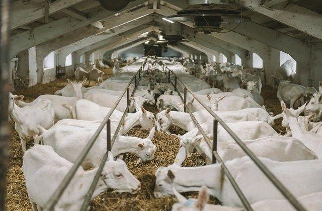 Продам козы заенские чешские много других молочные