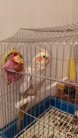 продам Папугай Корелла