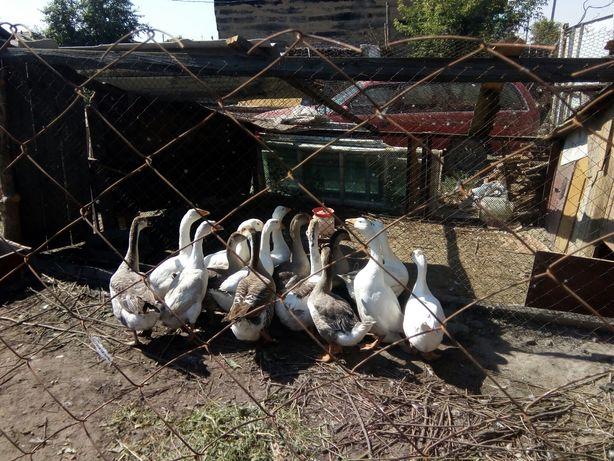 Продам молодых гусей