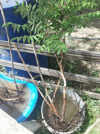 Продам соженцы пальмы