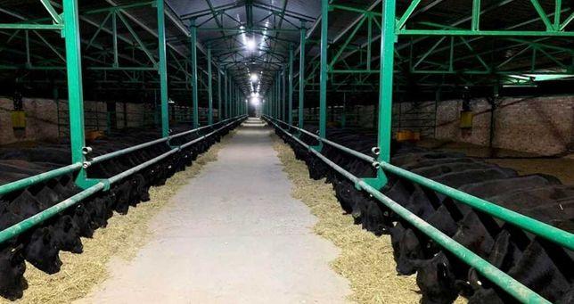 Продаются бычки, тёлки, нетели, коров телята, абузау КРС МРС БЫК баран