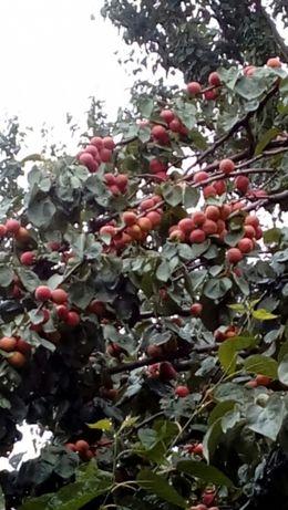 Продажа саженцев плодовых