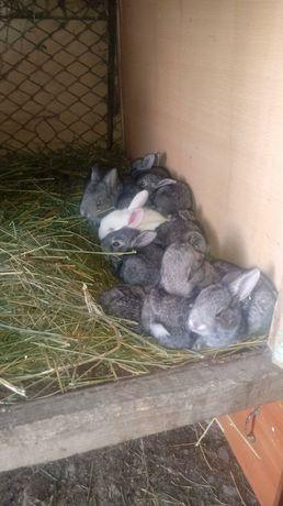 Прадается кролики вилики месячные асталась мала