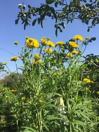 Продаю рассаду многолетних садовых цветов