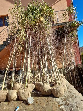 Betula pendula .mesteacan Alb.vand si distribui
