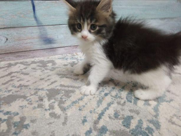 Продам котенка мейн кун