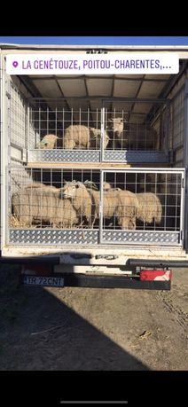Transport animale vii!