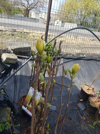 Vand magnolia Galbena