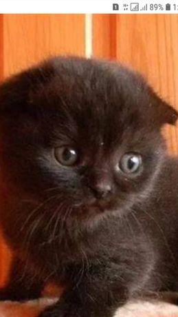 Продам котенка вислоухого