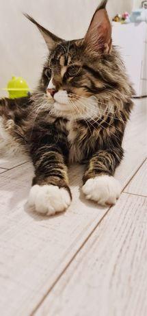 Любовь с первого взгляда! Котенок мейн-кун!