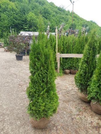 Plante ornamentale Tuia si alte speci
