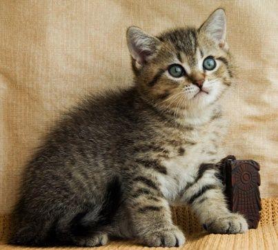 Британская маааааленькая девчушка-котёночек