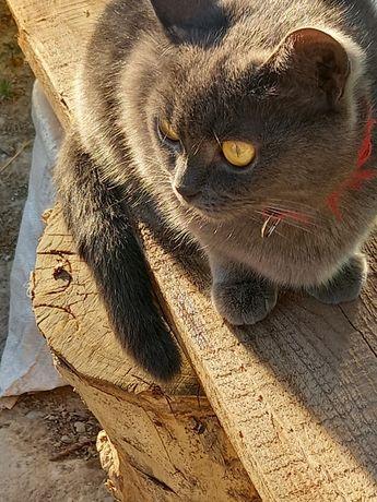 Котята британские котята