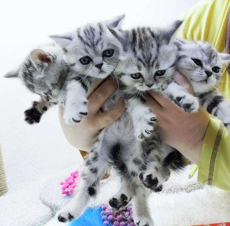 шотландские котята ждут своих хозяев**