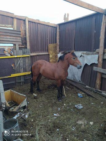 Продается Лошадь жеребец
