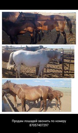 Продам лошадей. Кобылы с жеребеном и рабочая лошадь.