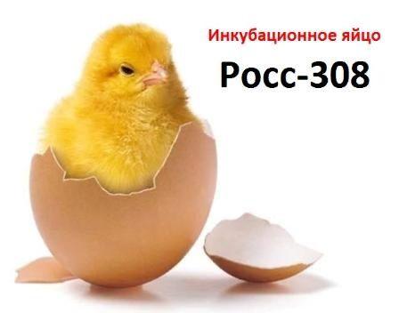 Яйцо инкубационный бройлер рос 308 72/80%