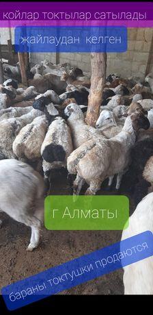 Кой токтылар сатылады продаются бараны токтушки молодняк г Алматы